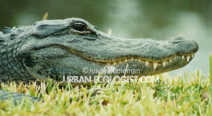 American alligator - Everglades National Park