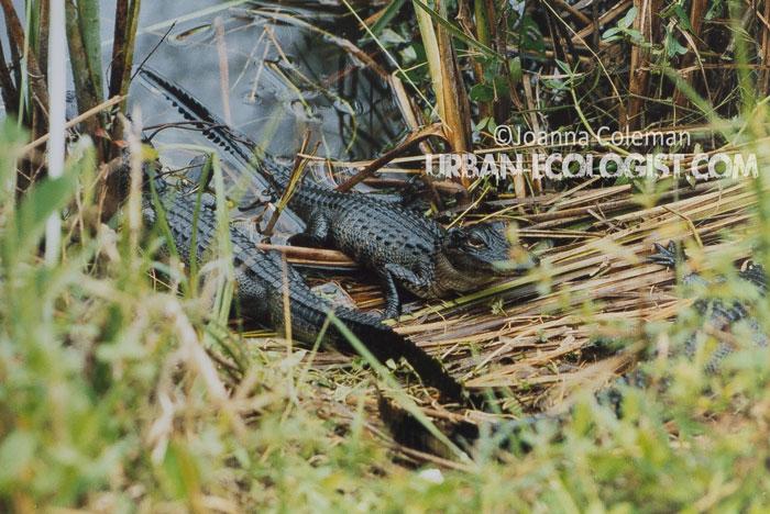American alligator babies Alligator mississippiensis