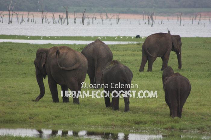 Asian elephants (Elephas maximus), Kaudulla National Park, Sri Lanka, 2011