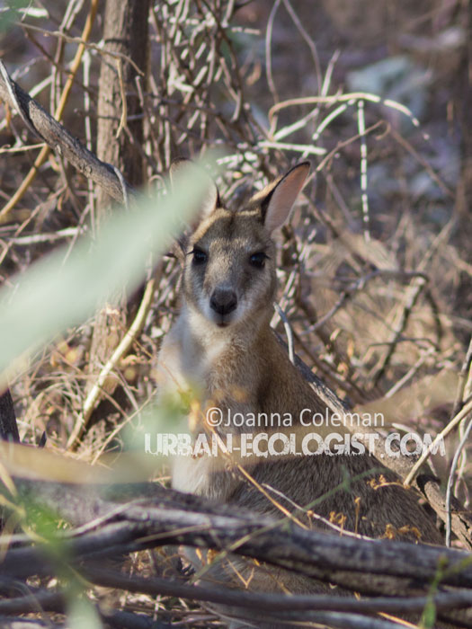 Agile wallaby (Macropus agilis) in Nitmiluk National Park, Northern Territory, 2013
