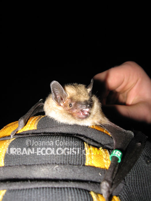big brown bat Eptesicus fuscus