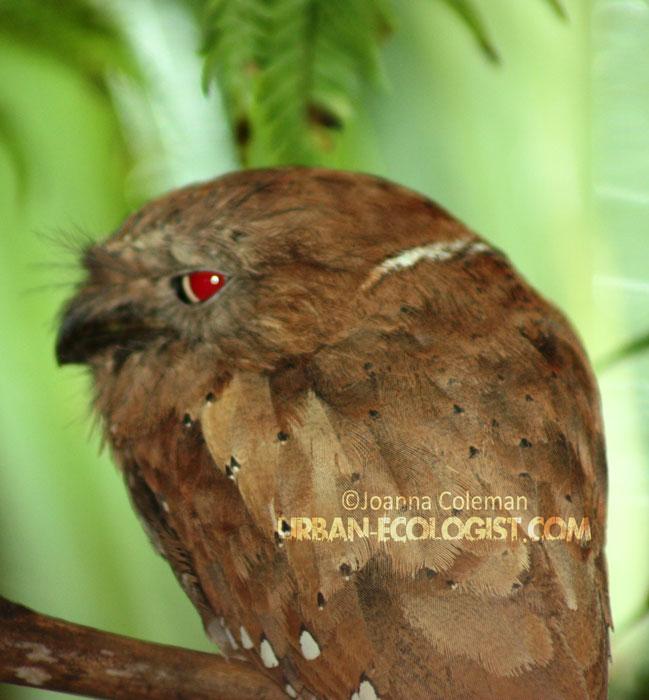 Ceylon frogmouth (Batrachostomus moniliger), Sinharaja rainforest