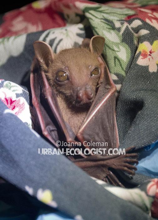 fruit bat (Cynopterus brachiotis), Singapore