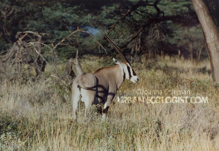 Gemsbok (Oryx gazella), Kenya, 1989