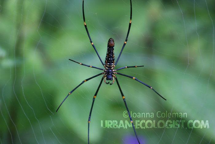 Nephila sp- Sinharaja rainforest, Sri Lanka, 2011