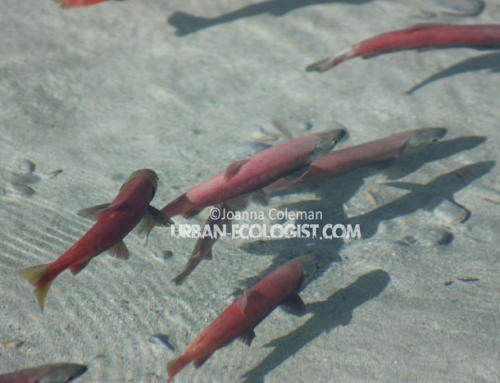 Kokanee salmon (Oncorhynchus nerka)