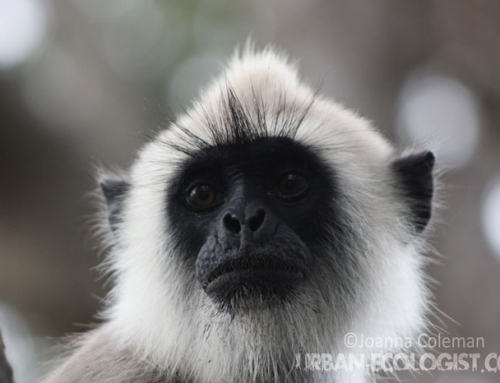 Tufted gray langur (Semnopithecus priam)