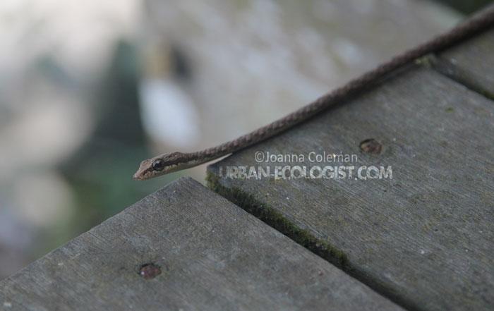 Bronzeback (Dendrolaphis sp), Sawarak