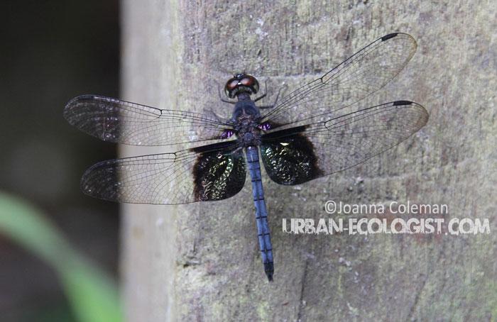 Dragonfly, Sarawak