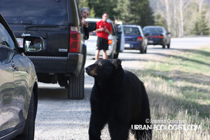 Ursus americanus) coming to road to see people behaving stupidly
