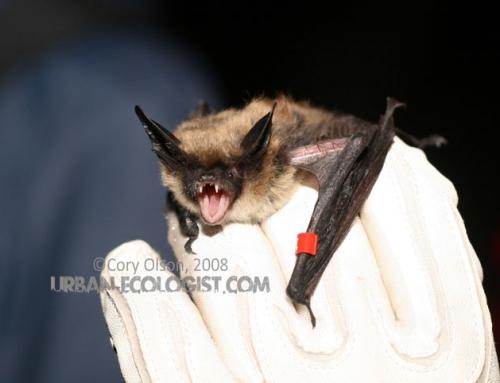 Western long-eared bat (Myotis evotis)