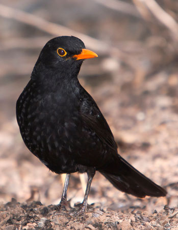 Urban populations of European blackbirds (Turdus merula) are becoming more sedentary. Eventually, this change in migratory behaviour could lead to speciation. Image: Juan Emilio, Own work – Creative Commons. http://creativecommons.org/licenses/by-nc-nd/4.0/